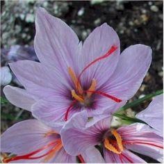 Crocus sativus...the source for saffron threads.  Nichols Garden Nursery.