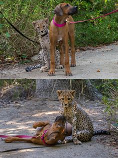 Cheetah cub, Ruuxa, is on a speedy road to recovery with his best puppy friend, a Rhodesian ridgeback female named Raina. Big Dogs, I Love Dogs, Beautiful Creatures, Animals Beautiful, Cute Puppies, Cute Dogs, Baby Animals, Cute Animals, Redbone Coonhound