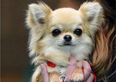 Valenchino Chihuahua Xena was snatched with four other dogs from a house in East Yorkshire on Thursday Teacup Chihuahua, Chihuahua Love, Chihuahua Puppies, Cute Puppies, Dogs And Puppies, Cute Dogs, Dibujos Anime Chibi, Long Haired Chihuahua, Mundo Animal