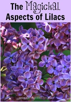 It's a FUN flower! Lilacs a some of my most favorite flowers. Their fragrance is sweet and intoxicating. The Magickal Aspects of Lilacs & Flirtation Spell