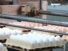 Yumurta üretimi nasıl yapılır  www.kumanda.org