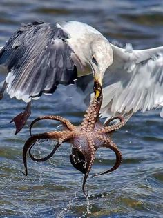 Eagle catching octopus..fb