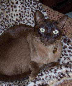 ZIGGY Burmese cat