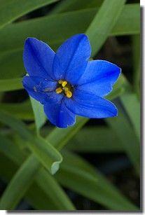 iphéion Couleur fleur : bleue