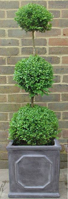 Buy Buxus triple ball planted in faux lead Chelsea box, clayfibre cube planter. Topiary Garden, Boxwood Topiary, Topiary Trees, Garden Pots, Boxwood Planters, Container Plants, Container Gardening, Green Mountain Boxwood, Front Door Plants
