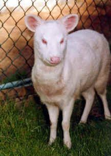 Albino Pudu. not quite sure what that is excatly....