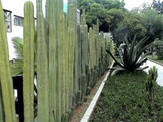 Muros e Cercas what a living fence ! ABC of Succulents: Walls and Fences Natural Fence, Natural Garden, Cerca Natural, Bamboo Garden Fences, Garden Privacy, Le Hangar, San Pedro Cacti, Living Fence, Garden Living