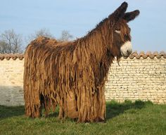 The poitou donkey from the France, a big Rastafarian donkey, was highly prized in the middle ages to pull rich people's wagons.