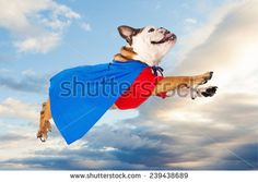 A funny Bulldog dressed as a super hero in a red shirt and blue cape flying through the sky Bulldog Clipart, Flying Dog, Space Images, Red Shirt, A Funny, Superman, Funny Animals, Dog Cat, Corgi