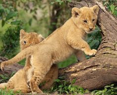 Lion Cubs by Dean Tatooles on 500px