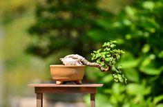 Semi-cascade portulacaria afra (dwarf jade) bonsai tree.
