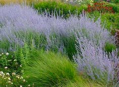 Perovskia Atriplicifolia (Russian Sage) - Love them in thick drifts with Lavander and Salvia. Awesome Perennial Accents in a meadow.