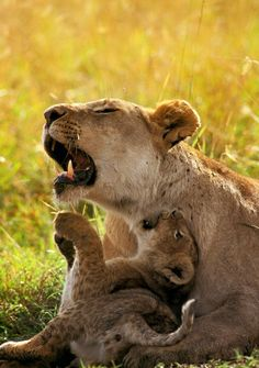 African Lion cub playing with mother