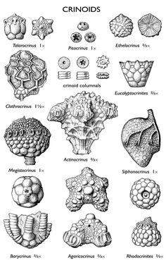 images of crinoid fossils