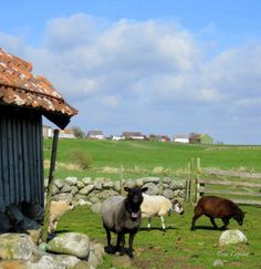 SHEEPS IN JÆREN, ROGALAND, NORWAY