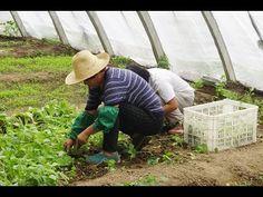 Cómo Tener Exito en la Producción con Buenas Practicas Agricolas - TvAgr...