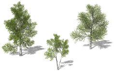 3d model xfrogplants paper birch tree - XfrogPlants Paper Birch... by xfrog