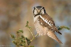 Northern Hawk owl on pine top