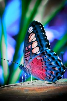 oh my gosh that's so beautiful. I don't think I've ever seen such a beautiful butterfly. I hope I'm not being decieved by any kind of digital enhancement. :)