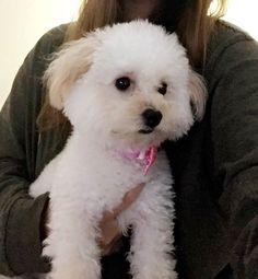 Starting off the week with lots of cuddles! #cuddles #mondayvibes #poodle #toypoodle #blonde #princess #dogsofinstagram #puppiesofinstagram #puppy #nani #nanita #instagramdogs #pet #ilovemydog #dog #pet #dogoftheday #smalldogs #tan #love #instadog #instapet #petsofinatagram #dogsofinstagram #caninelover #doglover #petlover #itsnanita #poshpamperedpets #petfeed  Photo By: itsnanita  http://bit.ly/teacupdogshq