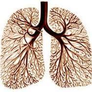 """Résultat de recherche d'images pour """"bronchial tree"""""""