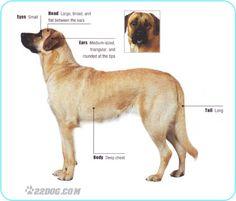 Anatolian shepherd dog photo | The Anatolian Shepherd Dog, previously known as the Anatolian Karabash ...