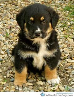 Rottweiler German Shepherd mix ~ SUCH A BEAUTIFUL PUP, WHAT A HANDSOME ADULT YOU WILL BE ~