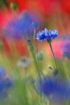 Bleuet par Nicole Barge on 500px