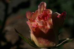 Pink Promise Rose Photograph Taken: 09/13/2014 Minnesota Landscape Arboretum Rose Garden