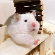 Sweet Syrian Hamster Hamster Pics, Baby Hamster, Hamster Care, Nature Animals, Animals And Pets, Baby Animals, Funny Animals, Dumbo Rat, Funny Hamsters