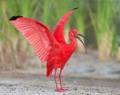 fairy-wren: scarlet ibis photo by adams serra Most Beautiful Birds, Pretty Birds, Ostriches, Bird Cages, All Birds, Big Bird, Wild Nature, Bird Watching, Bird Feathers