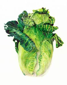 French beef-heart Heirloom cabbage, watercolor vegetable print