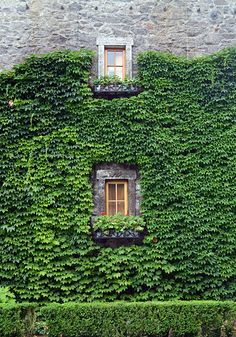 Climbing ivy walls can be found all over Napa Valley, a characteristic uncommon in today's day in age.
