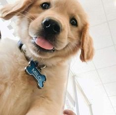 The Versatile Golden Retriever - Champion Dogs Cute Dogs And Puppies, Baby Dogs, I Love Dogs, Doggies, Cute Baby Animals, Animals And Pets, Funny Animals, Tier Fotos, Cute Creatures