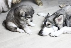 Thor and Ziva. by Richard Ayres. #wolf #dog #puppy #northerninuit #wolfalike