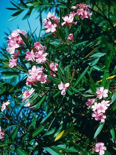 Oleander ( ยี่โถ ) a beautiful ornamental shrub that is highly toxic. It's beautiful, but all parts are deadly Amazing Flowers, Love Flowers, Landscaping Plants, Garden Plants, Oleander Plants, Bushes And Shrubs, Mediterranean Style, Mediterranean Plants, Poisonous Plants
