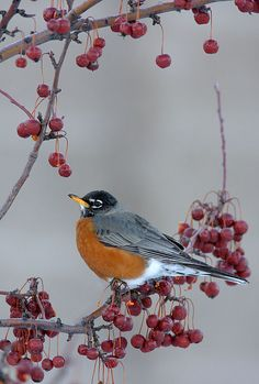 American Robin, I'm learning to like birds, just not a whole flock at once please!