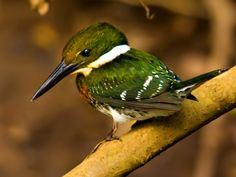 Green Kingfisher: S TX in the USA south thru CntAm & S.A. to Cnt Argentina