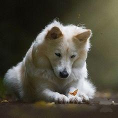 Absolutely stunning White Swiss Shepherd http://ift.tt/1TuTeAZ