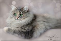 Deutsch Langhaar Katze Cat Cat, Kitty Cats, Cats And Kittens, Siberian Cat, Cattery, Beautiful Cats, Make Me Smile, Cute Animals, Queen