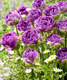 True double Tulip Bulbs Flower,(not Tulip Seeds),tulipa Gesneriana Flower Plant,flowers Symbolizes Love 5 Blubs For Home Garden Garden Bulbs, Planting Bulbs, Planting Flowers, Bulb Flowers, Tulips Flowers, Spring Flowers, Amazing Flowers, Beautiful Flowers, Tulip Bulbs