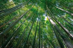 https://flic.kr/p/AzKs6d | Arashiyama Bamboo Grove, Kyoto, Japan | Arashiyama's majestic bamboo grove right behind Tenryu-ji temple.  The walking paths that cut through the bamboo groves make for a nice walk or bicycle ride. The groves are particularly attractive when there is a light wind and the tall bamboo stalks sway gently back and forth. The bamboo has been used to manufacture various products, such as baskets, cups, boxes and mats at local workshops for centuries. /via japan-guide.com
