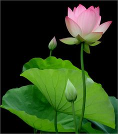 https://flic.kr/p/5uMhwv | lotus flower - Hoa Sen | Hoa sen - Lotus flower  songvan.com