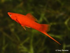 Mail red Swordtail