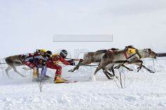 Finland, Reindeer, Camel, Horses, Animals, Animales, Animaux, Camels, Animal