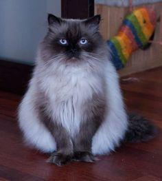 50 Himalayan cat (2)
