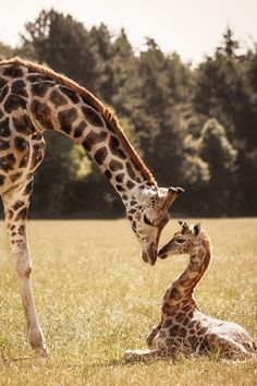 Giraffes by Nadine Volz love to see Giraffe momma and baby's