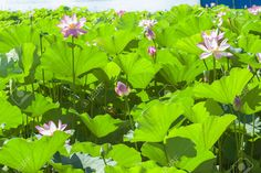 Lotus Pond Stock Photo, Picture And Royalty Free Image. Image 40188792.