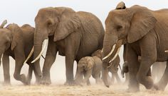 A wildlife and cultural documentary photographer whose work is based in Eastern Africa. Gallery of Elephants. She leads photo safaris in Africa. Elephant Photography, Wildlife Photography, Animal Photography, Amazing Photography, Elephants Photos, Baby Elephants, Pet Tiger, Tiger Cubs, Bengal Tiger