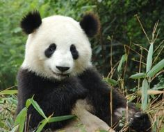 Trying to decide if I want a bamboo snack or a nap......decisions, decisions.  sigh.